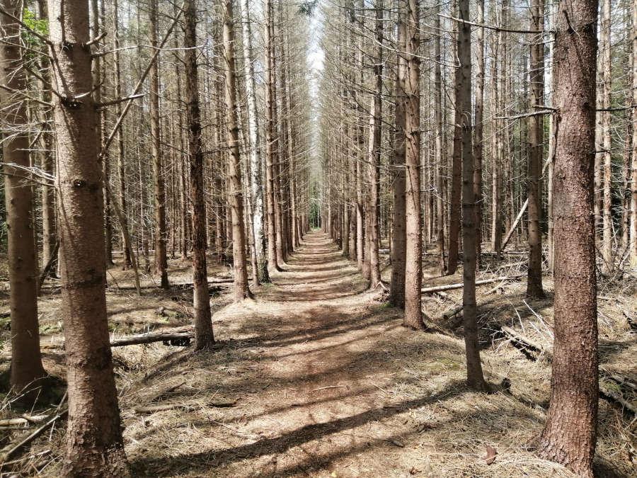 Naaldbos in het Weerterbos