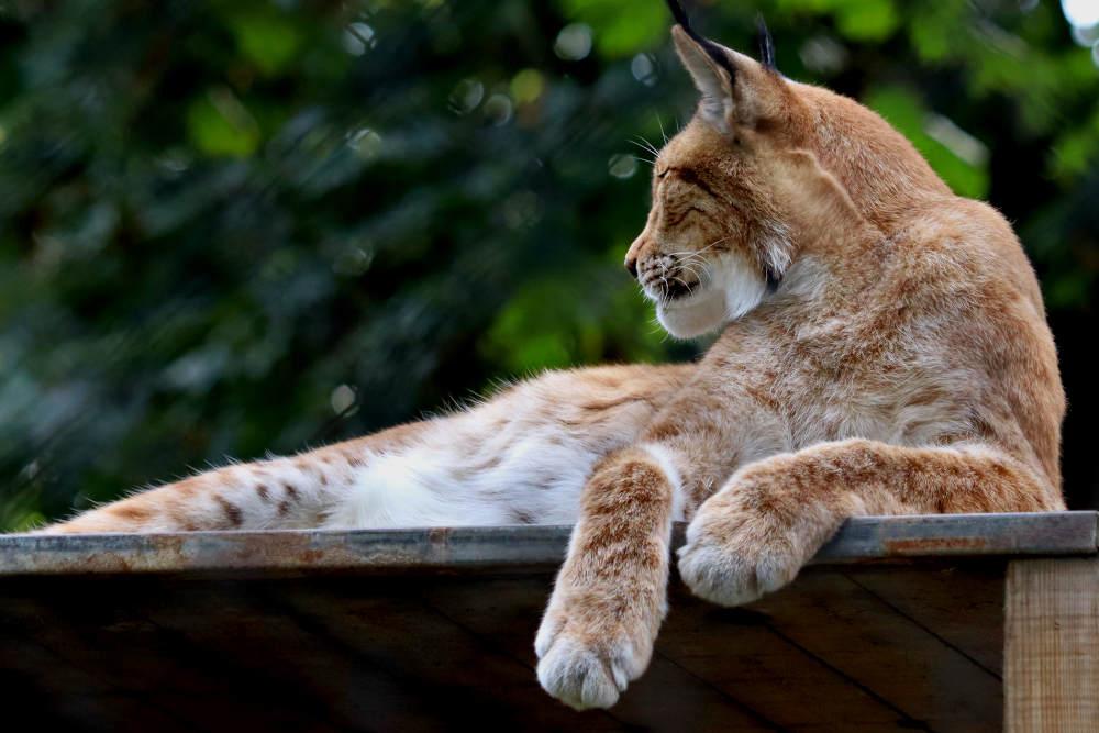 De lynx past ook prima in dit kleinschalige dierenpark