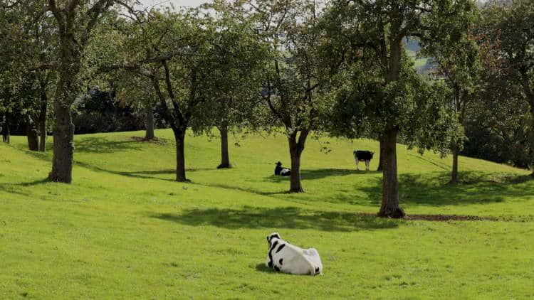koeien liggen te rusten in een boomgaard in zuid-Limburg