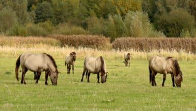 Konikpaarden in de Koningssteen tijdens de Trage Tocht Thorn