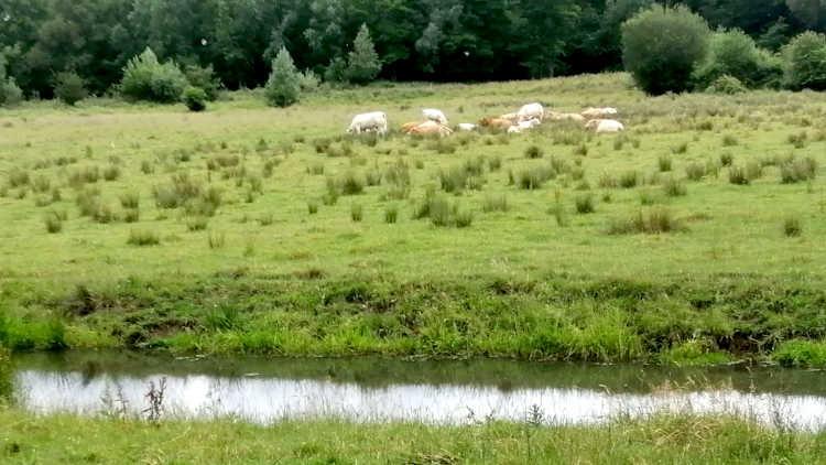 De geleenbeek met koeien