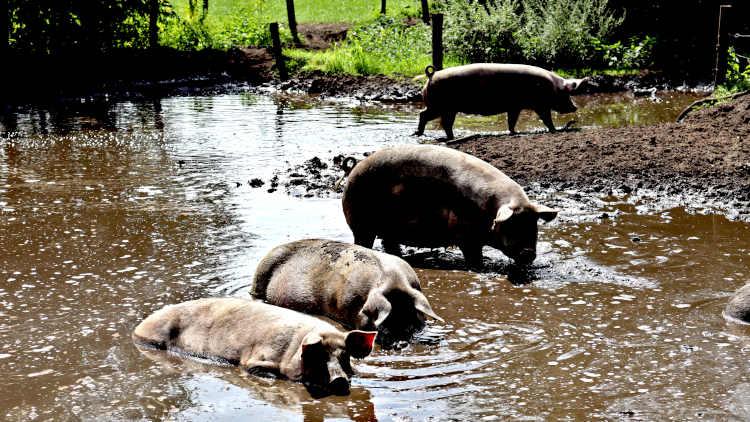Deze varkens hebben een erg fijn even in de modder en op een groot perceel