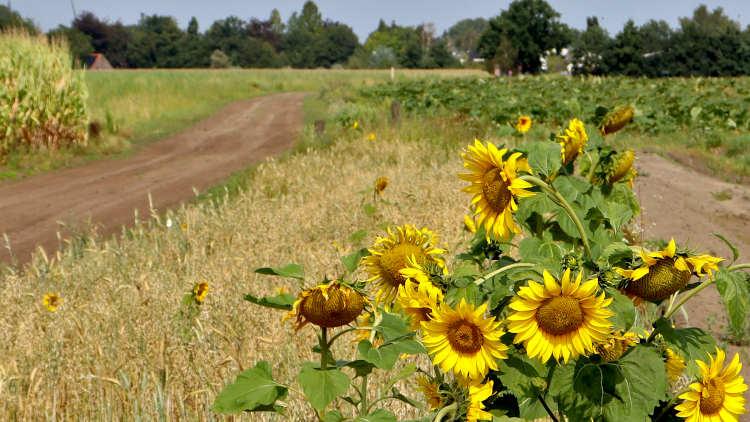 Zonnebloemen langs de weilanden tussen Gemert en De Mortel