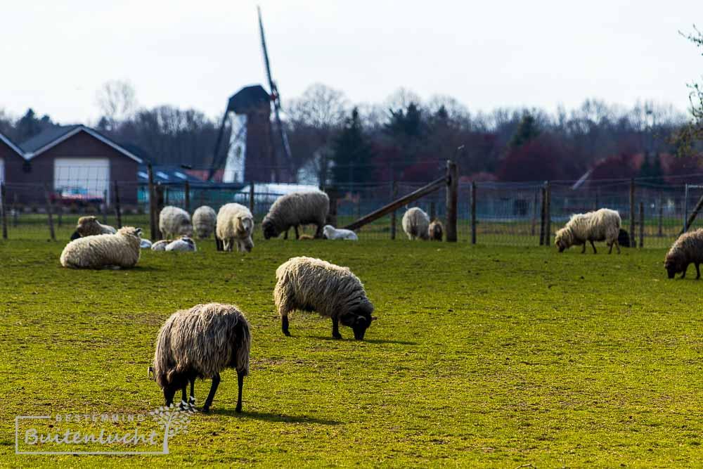 schapen voor de Annamolen Keent in Weert