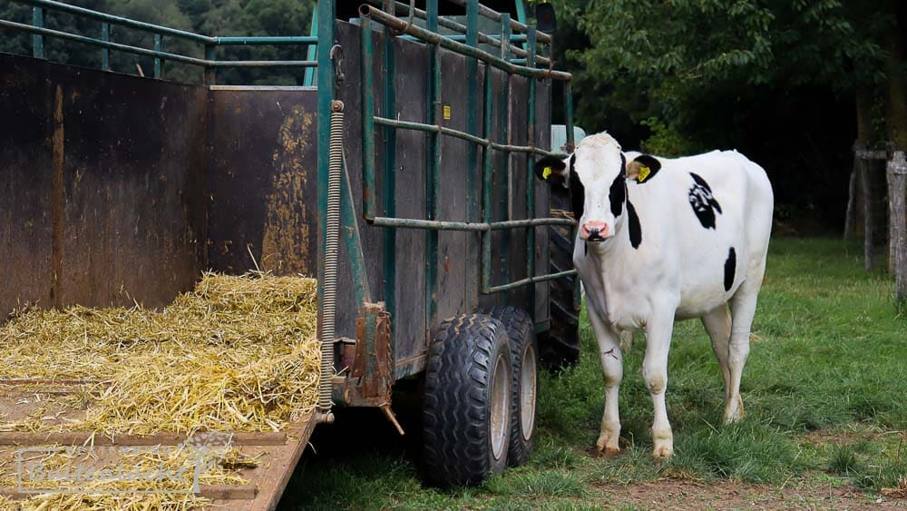 Een koe tijdens de Trage Tocht