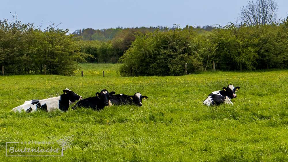 koeien in de Oeffelter Meent