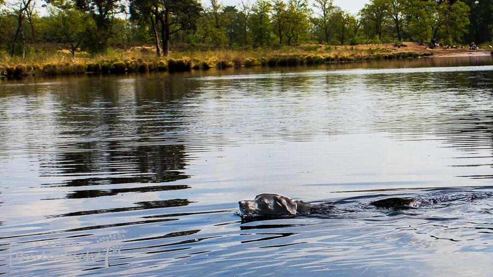honden los en zwemvijver in Overasseltse en Haterste vennen