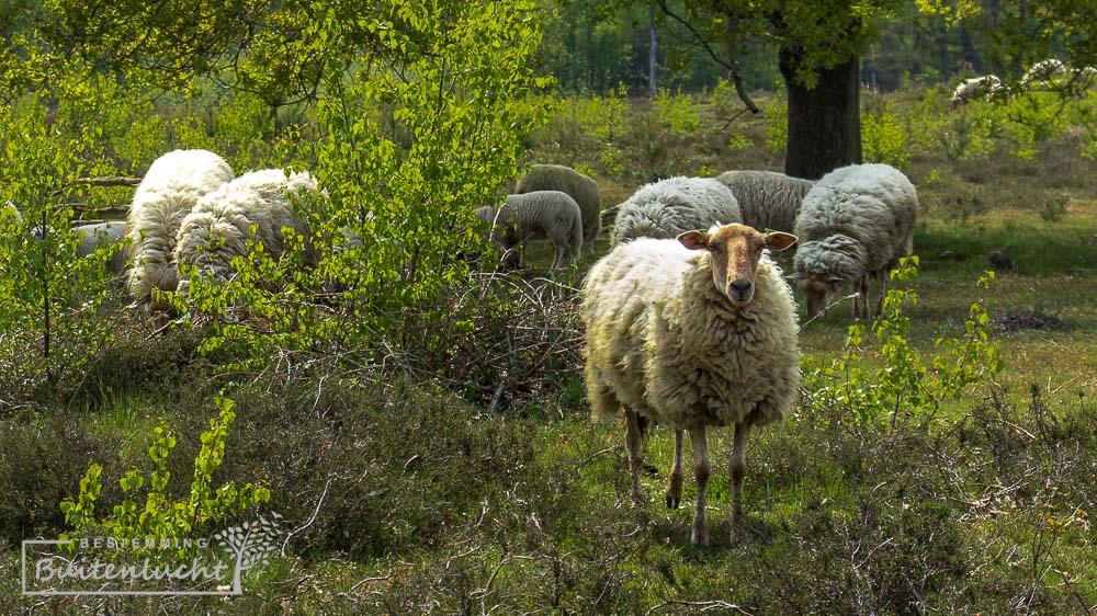 schapen op de overasseltse en Hatertse Vennen