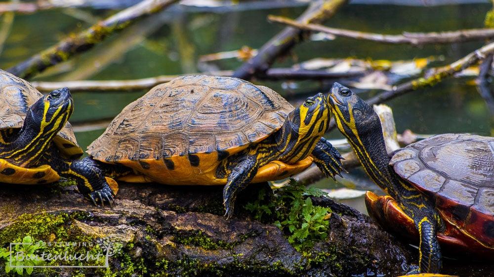 Schildpadden in het Jammerdal in Venlo